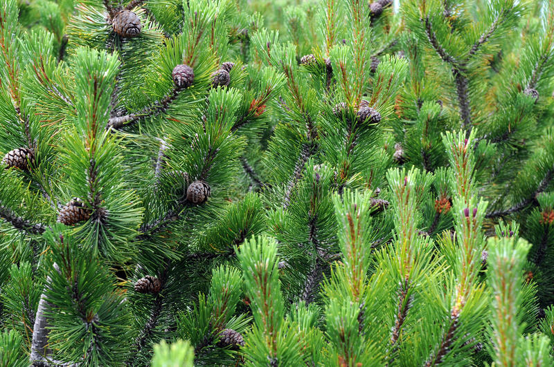Fir Boughs and Cones royalty free stock photography