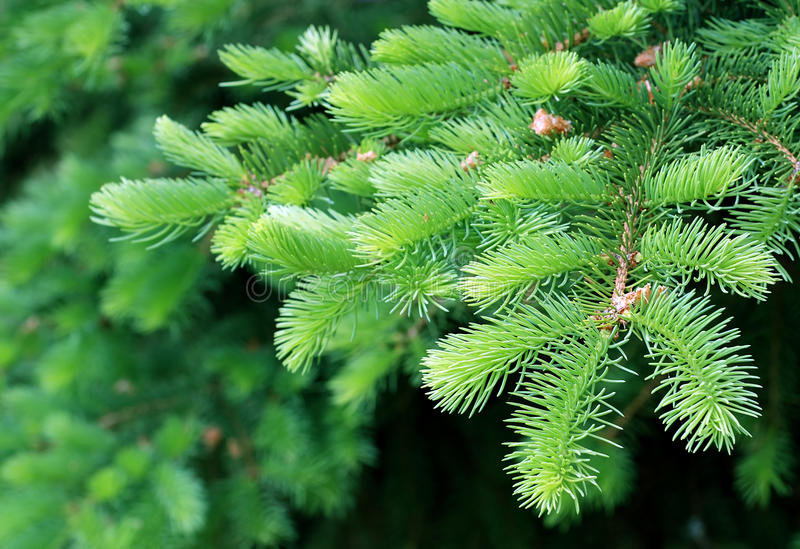 Download Fir branch stock photo. Image of backgrounds, copy, selective - 24702958