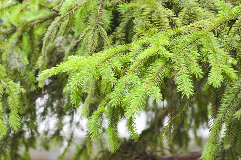 Fir branch close up. Can be used as a background stock photos