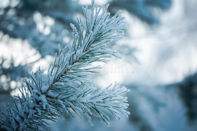 Fir branch in snow stock photos