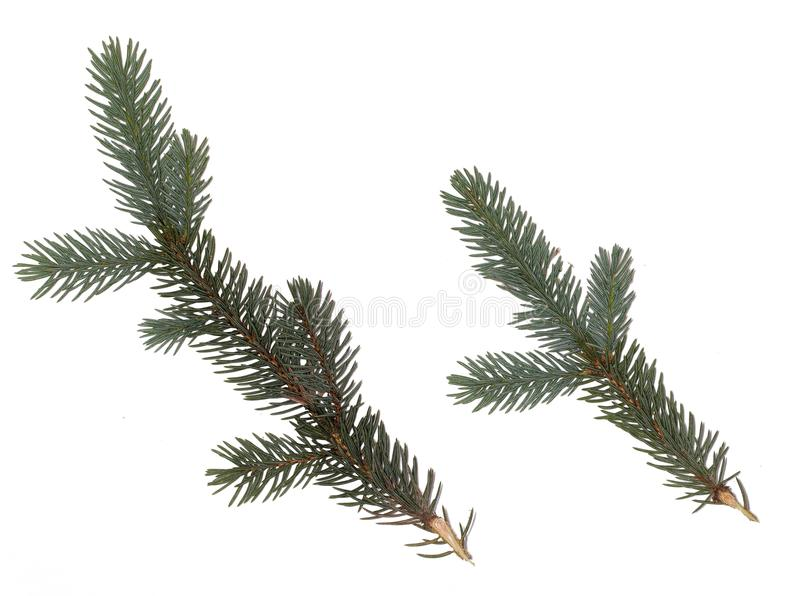 Fir branch on white background. green fir tree twig. Isolated on white background stock photos