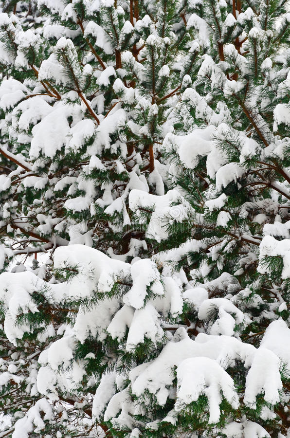 Download Fir Branches stock photo. Image of hoar, snow, coniferous - 28934226