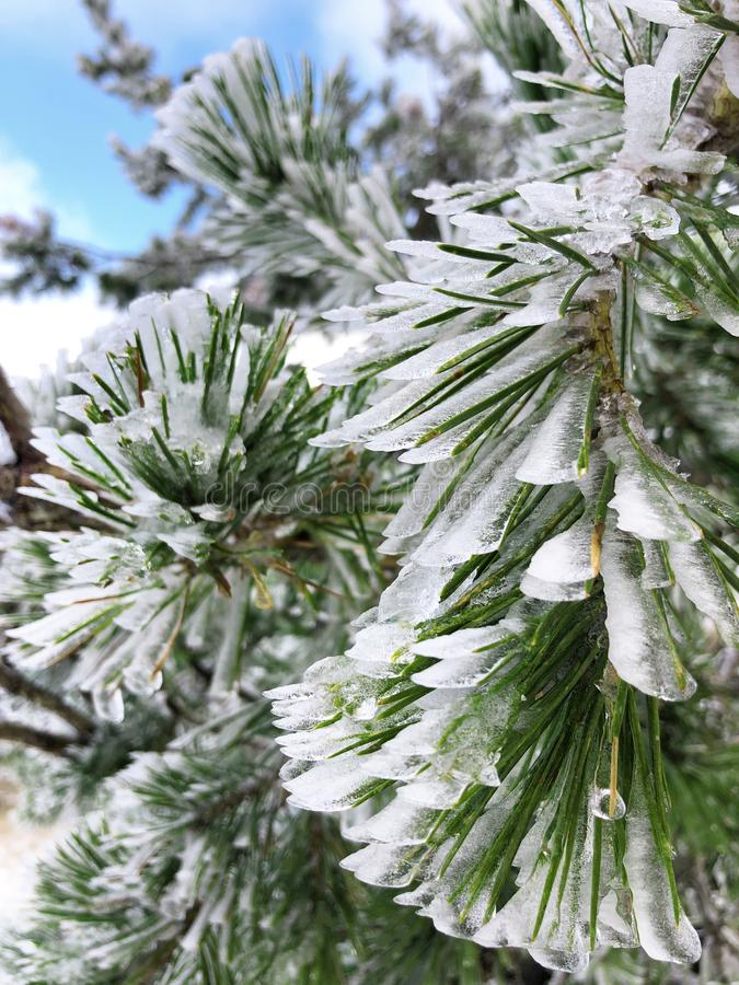 Fir branches covered with frost. Russian winter snowy pine tree. royalty free stock image
