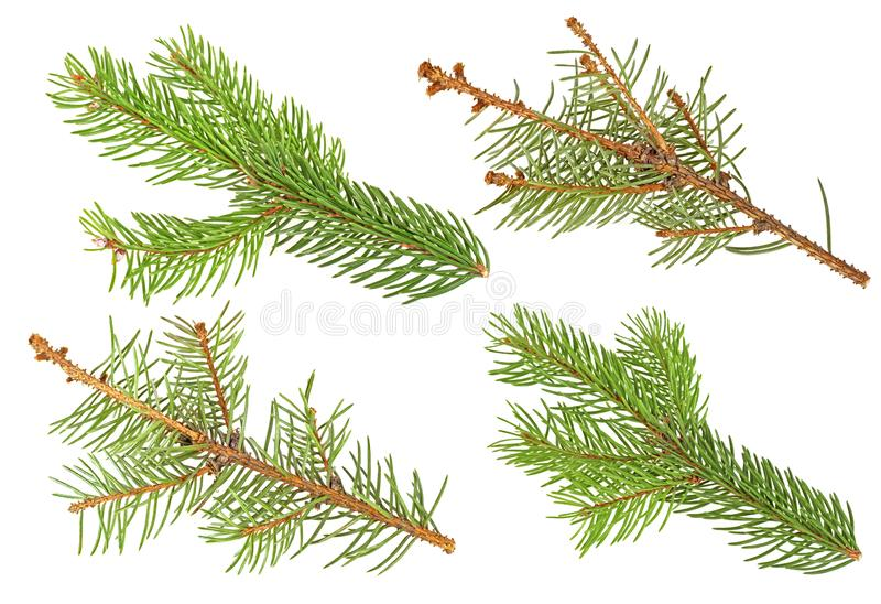 Fir branches isolated on a white background. Set of fir branches. Top view royalty free stock photography