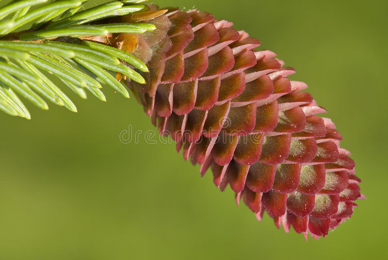 Fir cone royalty free stock images