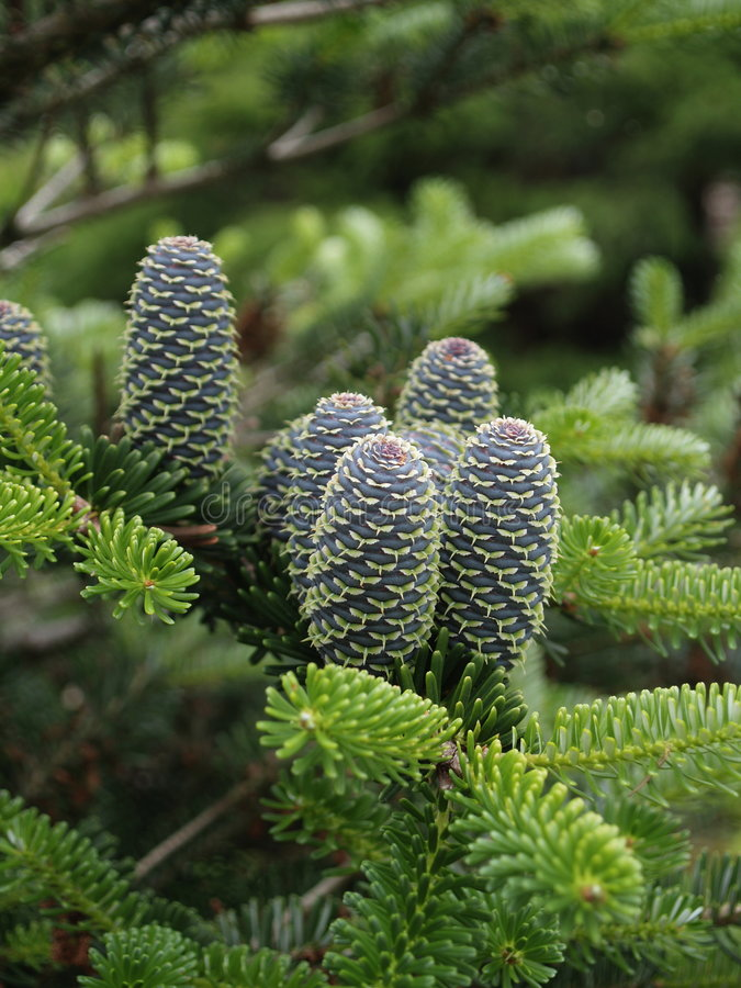 Fir - Cone stock photos