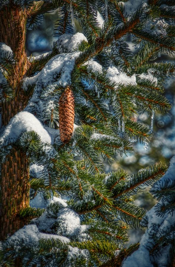 Fir cone on branch with snow and icicles royalty free stock images