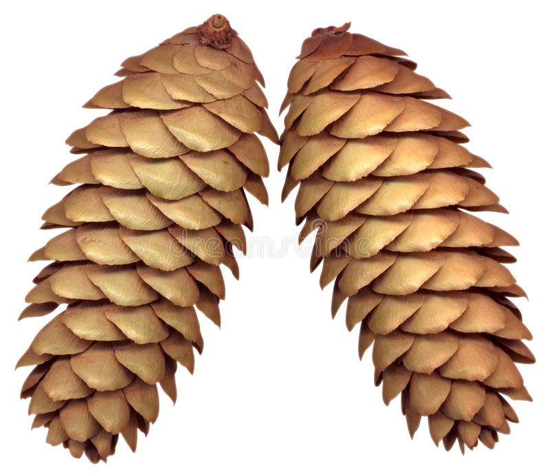 Download Fir cones stock image. Image of pinecone, cone, forest - 10817103