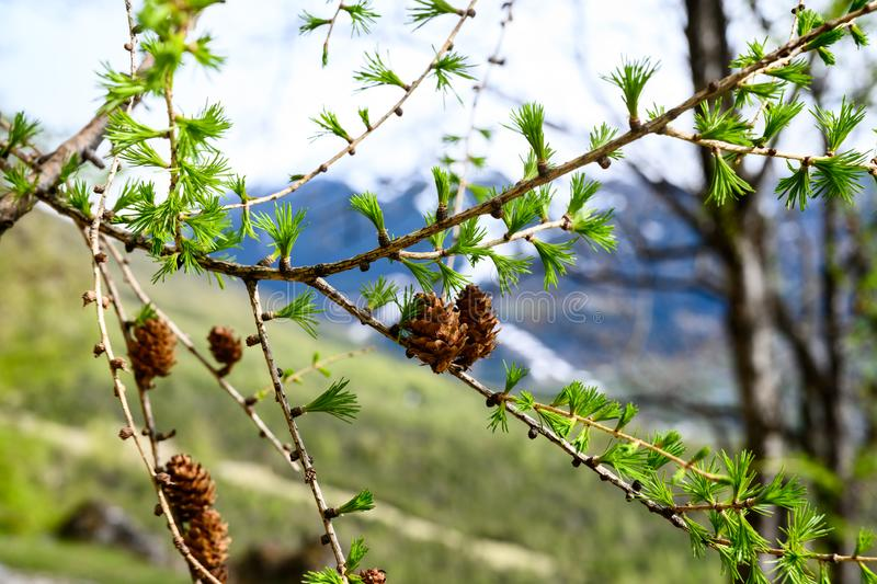 Spring fir cones in the Italian Alps. Fir cones with green grass and blurred mountains in the background royalty free stock photos
