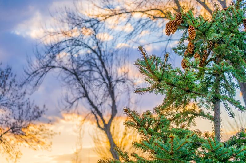 A fir with cones in front of clouds at sunset royalty free stock photography