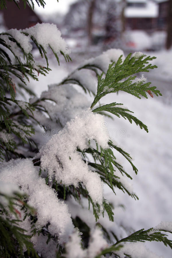 A fir. Covered in snow stock image