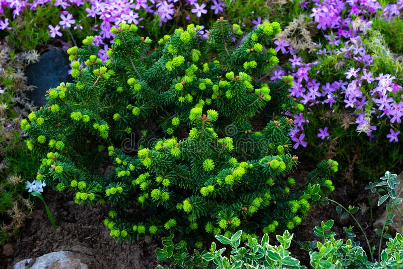 Fir, evergreen conifers in landscape design in the botanical garden royalty free stock images