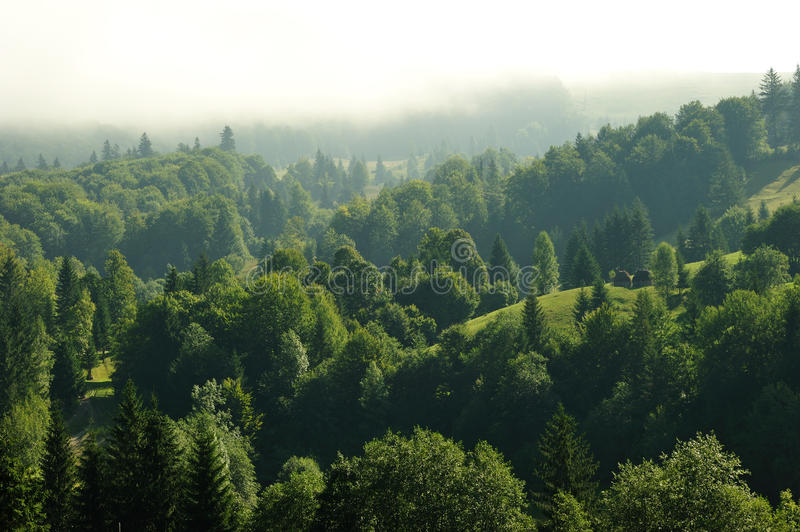 Fir forest at high altitude stock photos
