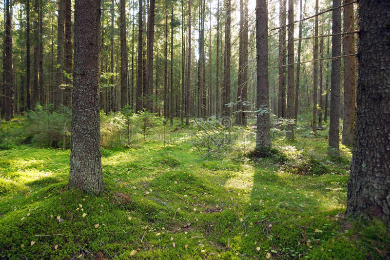Fir forest in the early summer morning, moss on the ground, young Christmas trees stock photos