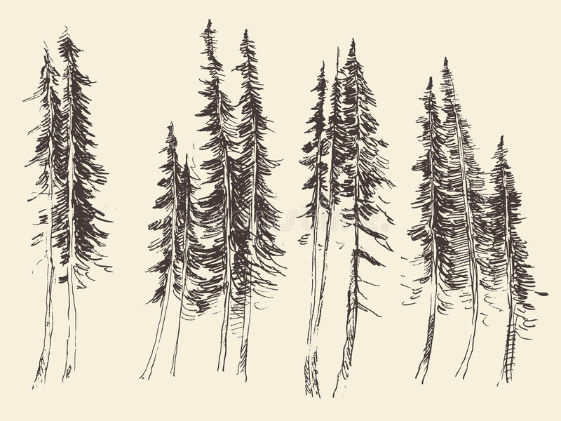 Fir forest engraving vector hand drawn sketch. Fir forest engraving vector illustration hand drawn sketch royalty free illustration