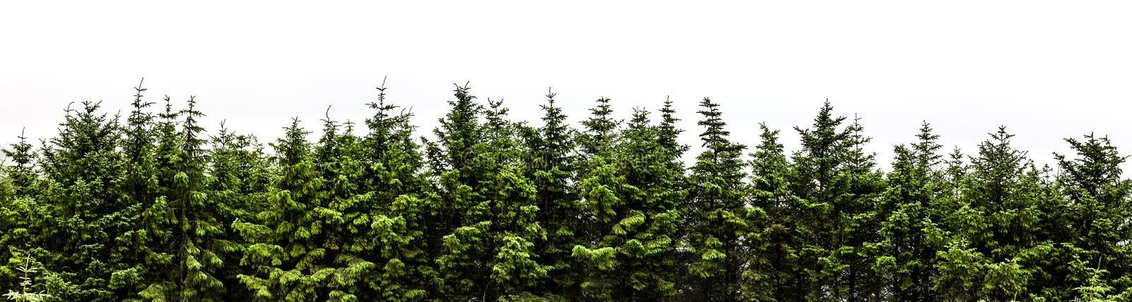 Fir forest panorama isolated on white background stock photos