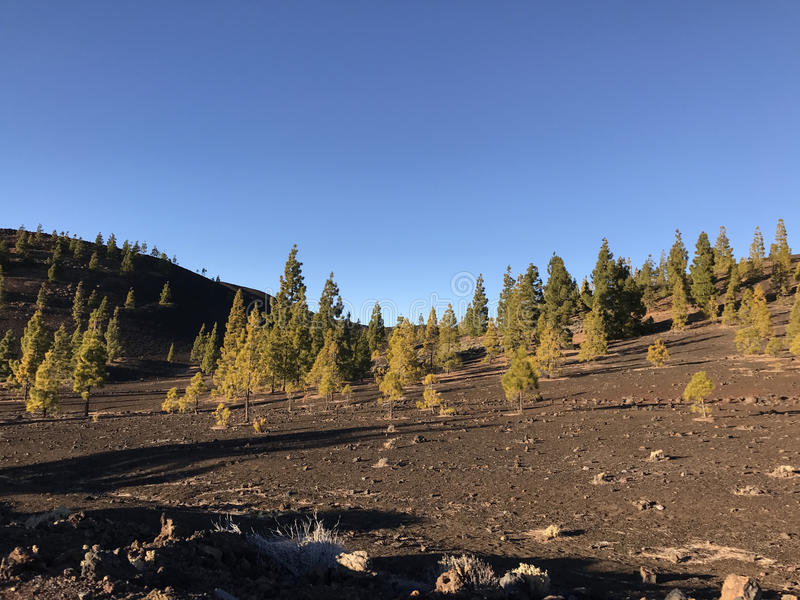 Fir landscape at Teide National Park. In Tenerife the Canary Islands stock photos