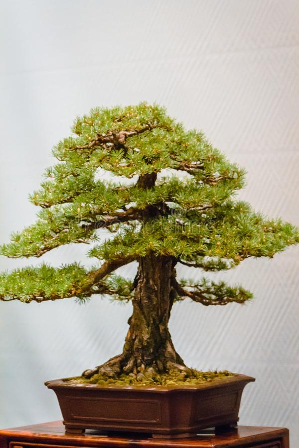 Fir pine bonsai tree at the Frederik Meijer Gardens bonsai show. In Grand Rapids Michigan royalty free stock images