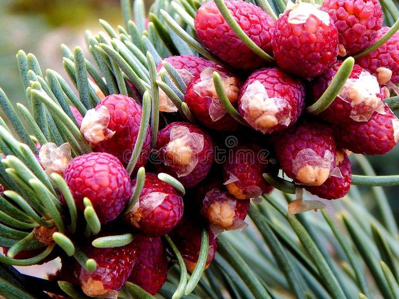 Fir. Plants. Conifer. Coniferous wood. Sort of gymnospermous plants stock photos