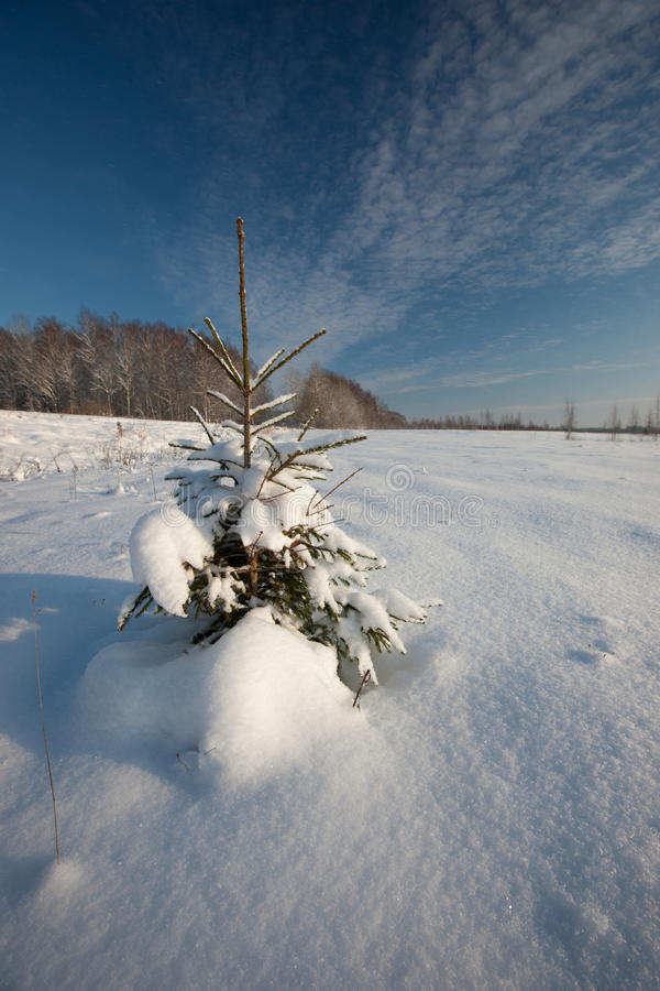 Download Fir tree stock image. Image of cool, spurce, tree, cold - 26987821
