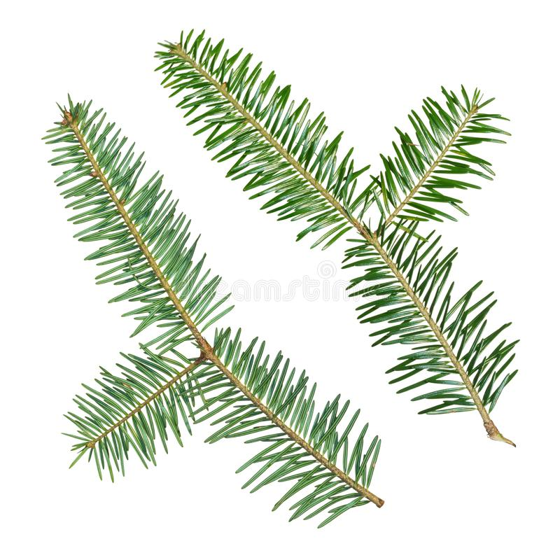A fir tree Abies sibirica branch is isolated on a white background stock photography