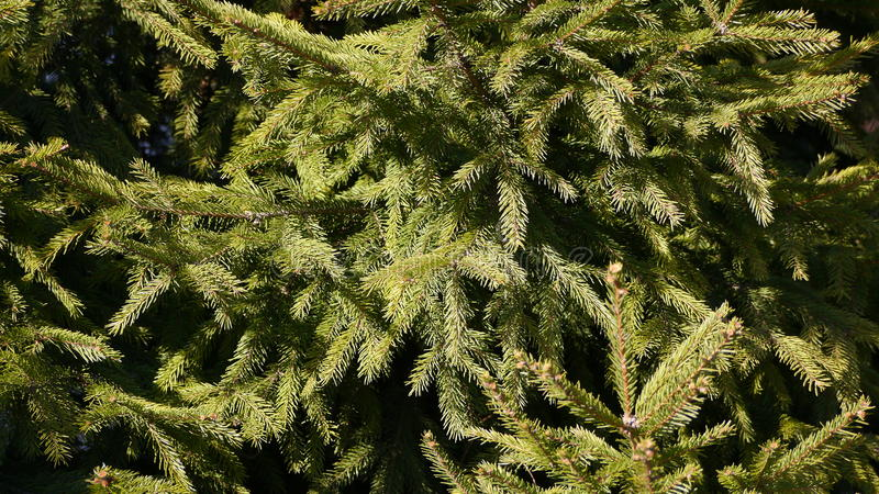 The fir-tree royalty free stock photography