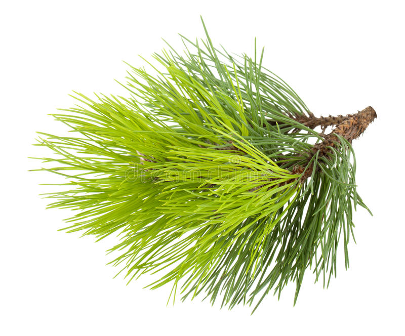Download Fir tree branch stock photo. Image of decorative, up - 26575426