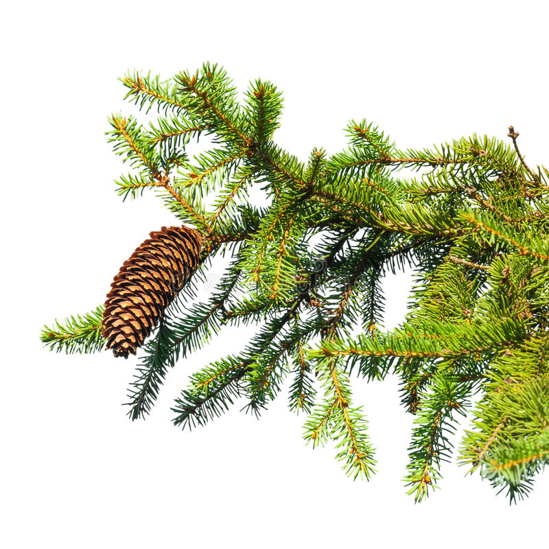 Fir tree branch with cone isolated on white stock photography