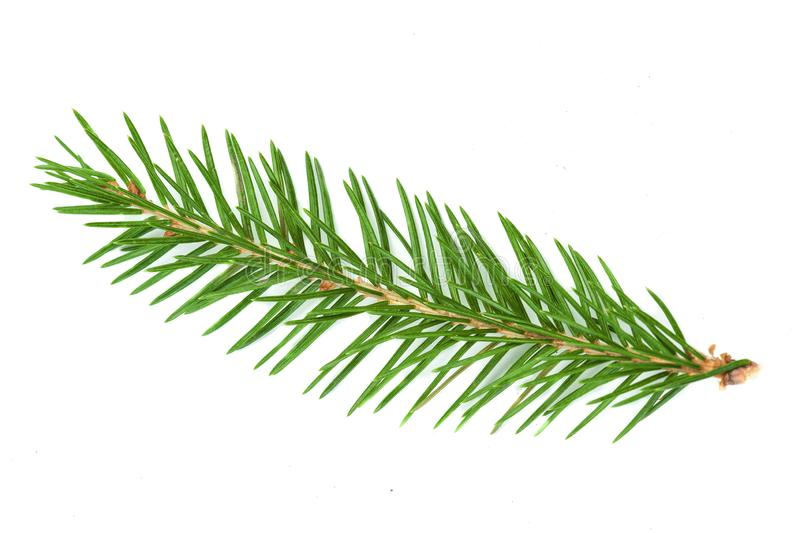 Fir tree branch isolated. Nature Symbol of Christmas and New Yea. R on white background stock photos