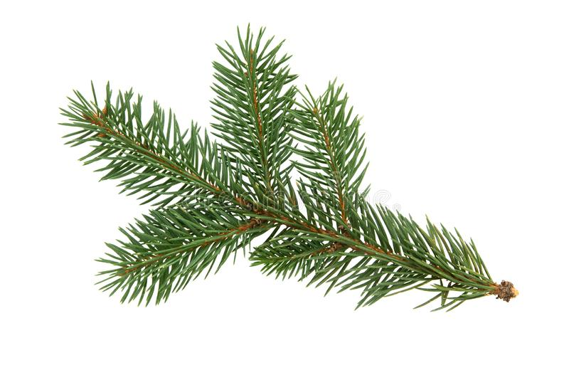 Fir tree branch isolated on white background. Pine. Christmas f royalty free stock photo