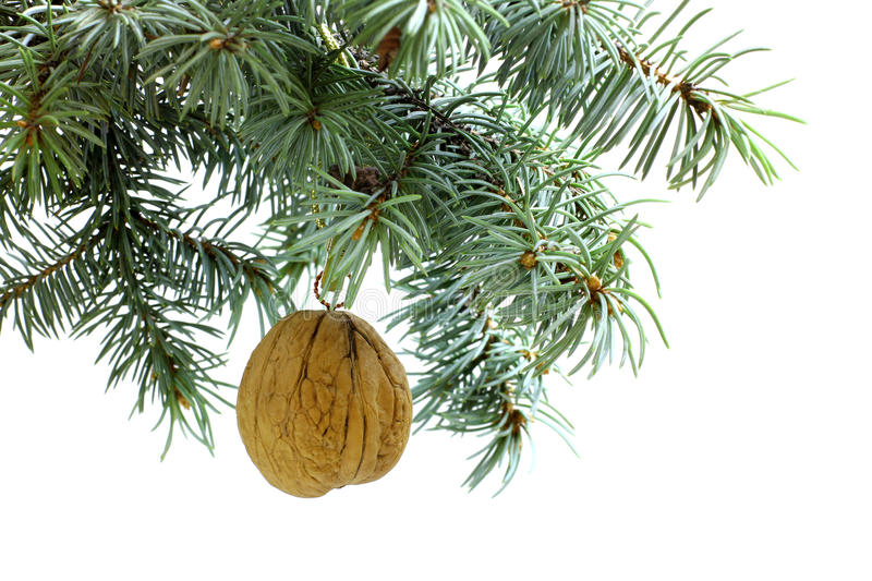 Fir tree branch isolated on white with walnut royalty free stock image