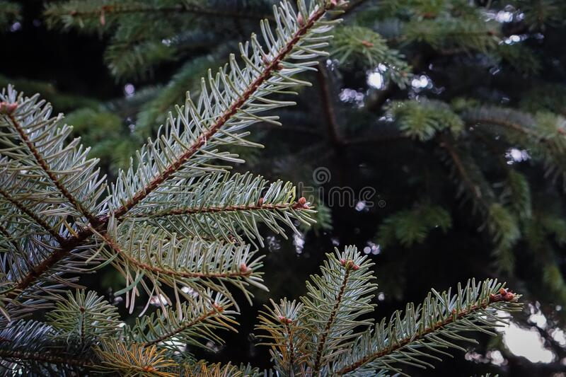 Fir tree branches stock photo