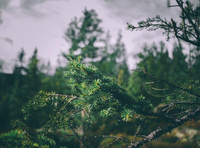 Fir tree branches stock photos