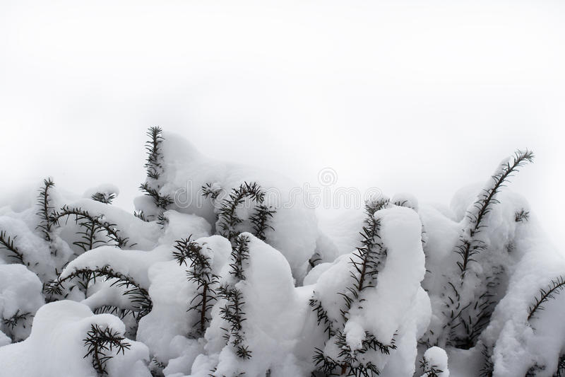 Fir tree branches covered in snow. Horizontal front view of fir tree branches covered in snow on white background stock photography