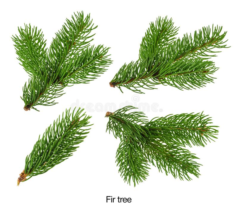 Fir tree branches isolated on white without shadow Set stock image