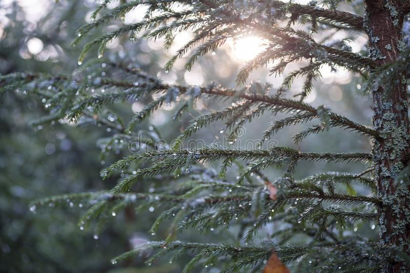 Fir-tree branches with rain drops royalty free stock photography