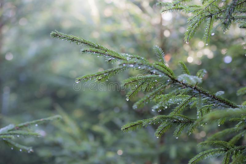 Fir-tree branches wet after stock photography