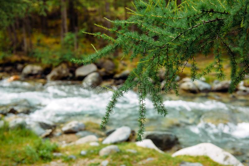 Fir tree brunch close up on the background of nature. Green spruce branch and mountain river, branch in focus. Save the planet royalty free stock images