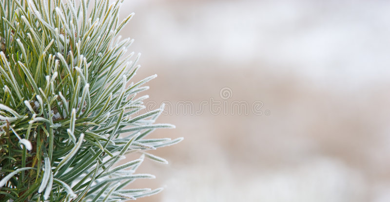 Download Fir Tree Close Up Covered With Snow Stock Photo - Image: 7654722