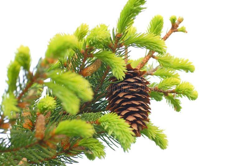 Fir-tree cones stock photos