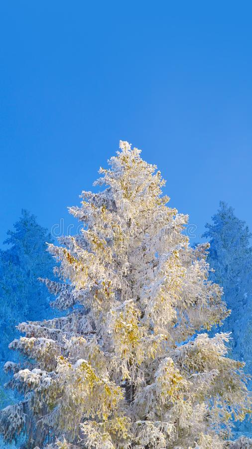 Fir tree covered by snow and hoarfrost on blue sky background. Winter tree covered by snow under the sunlight stock photography