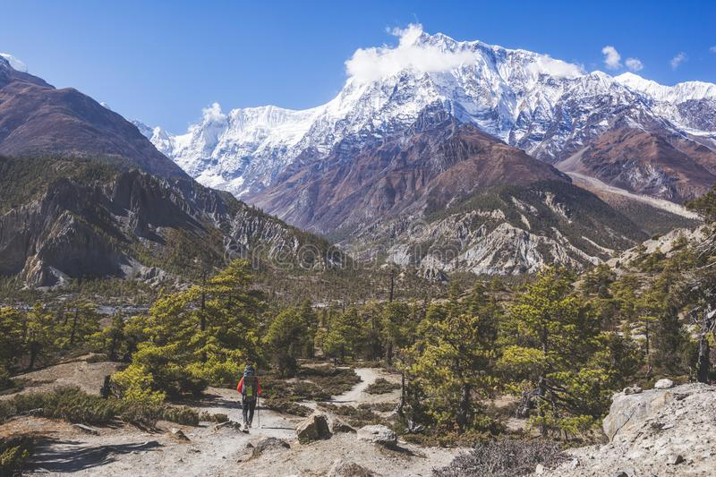 Fir tree forest. Himalayan mountains of Nepal stock photography