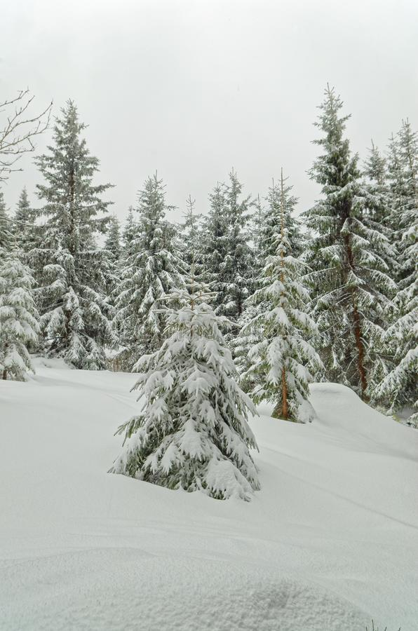 Fir tree in a fresh snow in a winter forest under overcast sky. Harz mountains national park, Germany royalty free stock image