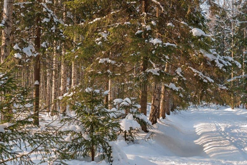 Fir-tree on glade in winter fir forest stock photo