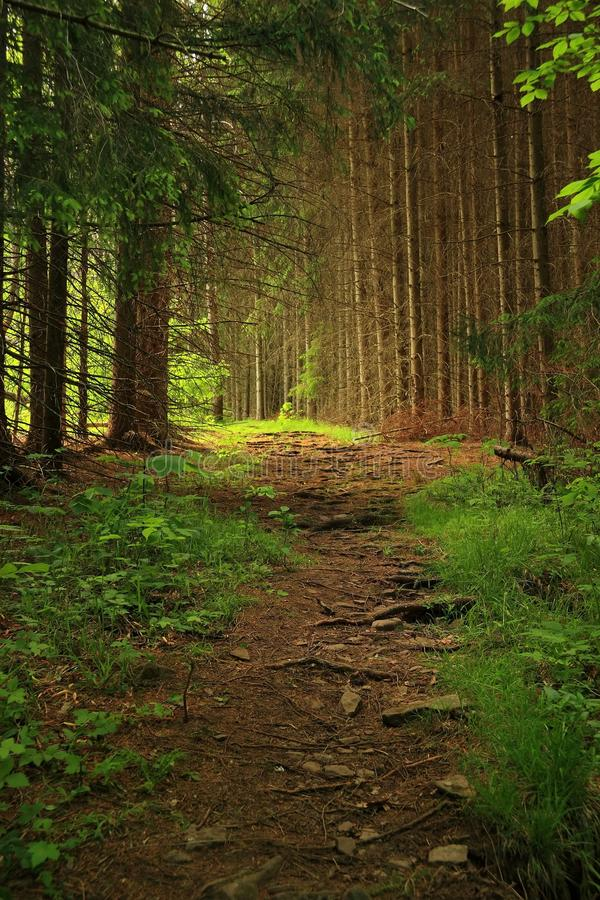 Download Fir Tree Lane stock image. Image of trees, branches, trail - 14860759