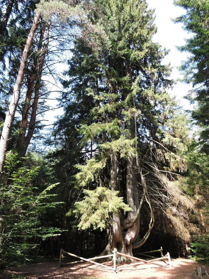 Fir tree, Lithuania. Fir tree . The fir is 32 metres high. Its estimated is age of 130-140 years. This fir was included into the Registry of Natural Monuments of stock photo