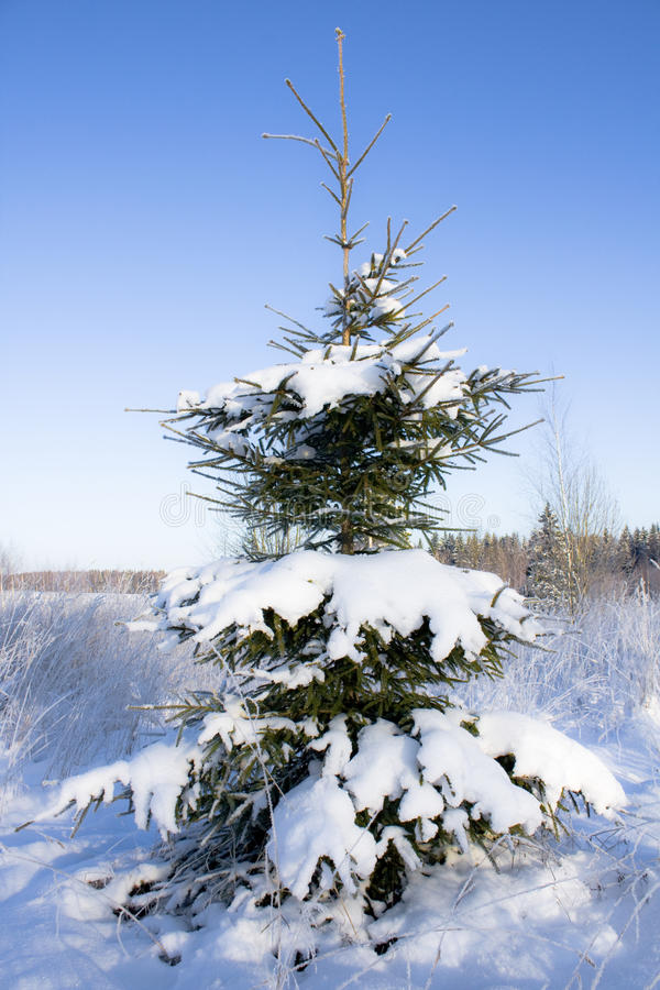 Download Fir-tree In Snow Stock Photos - Image: 12297843