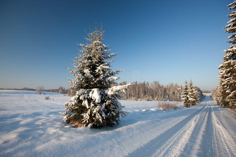 Fir tree royalty free stock image