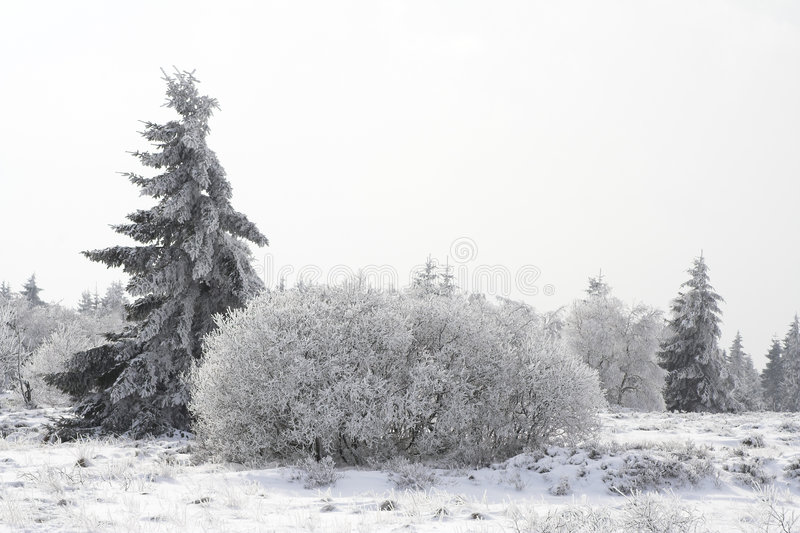 Fir tree on a snowy forest glade