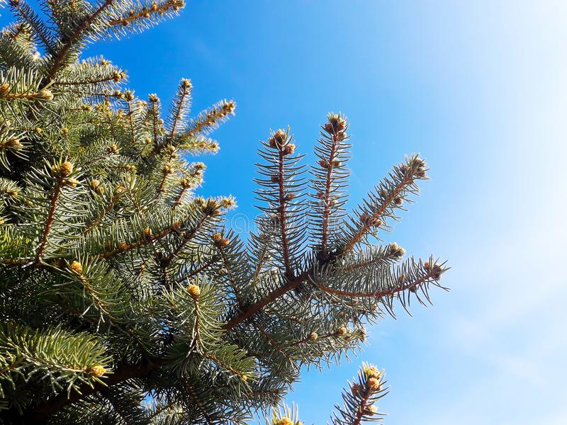 Fir Tree at a Sunny Day royalty free stock image